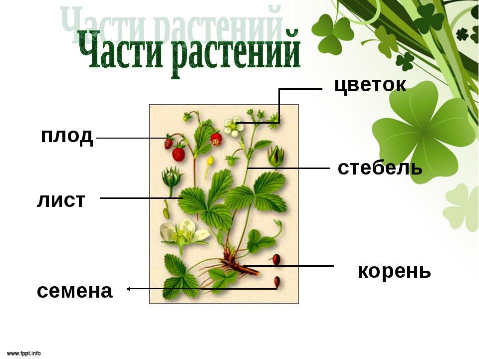 корень лист стебель цветок плод семена