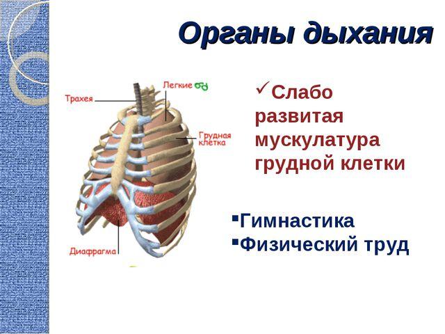Органы дыхания Гимнастика Физический труд Слабо развитая мускулатура грудной...