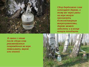 Сбор берёзового сока истощает дерево, к тому же через раны на коре могут прон