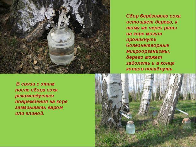 Сбор берёзового сока истощает дерево, к тому же через раны на коре могут прон...
