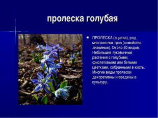 пролеска голубая ПРОЛЕСКА (сцилла), род многолетних трав (семейство лилейные)