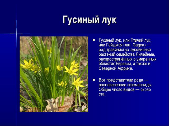 Гусиный лук Гусиный лук, или Птичий лук, или Гейджэя (лат. Gagea) — род травя...