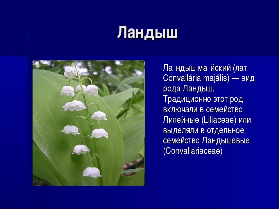 Ландыш Ла́ндыш ма́йский (лат. Convallária majális) — вид рода Ландыш. Традиц...