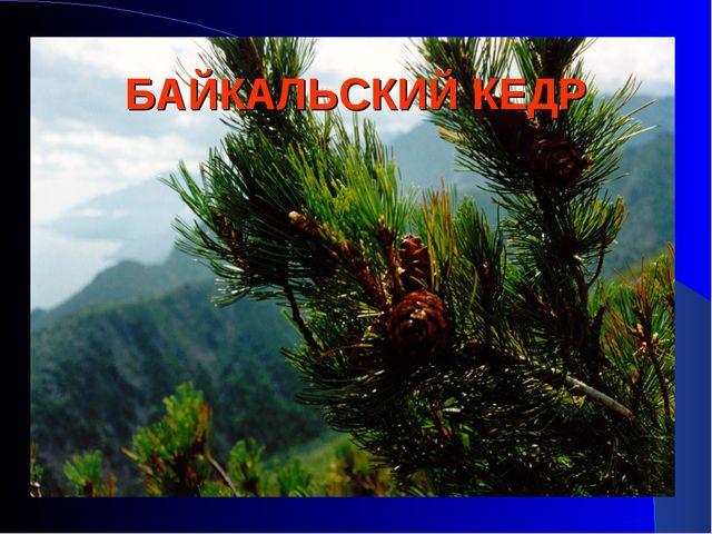 БАЙКАЛЬСКИЙ КЕДР