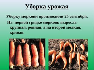 Уборка урожая Уборку моркови производили 25 сентября. На первой грядке морков