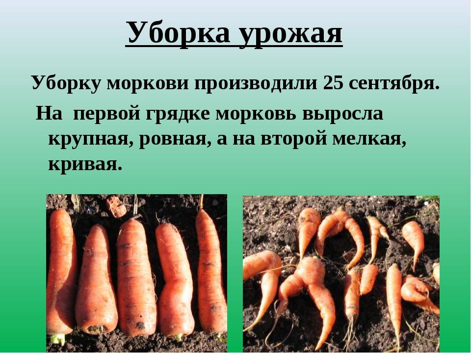 Уборка урожая Уборку моркови производили 25 сентября. На первой грядке морков...