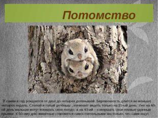 У самки в год рождается от двух до четырех детенышей. Беременность длится не