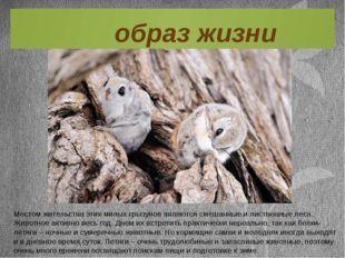 Местом жительства этих милых грызунов являются смешанные и лиственные леса. Ж