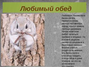 Любимым лакомством белки-летяги являются почки разных лиственных пород, хвоя