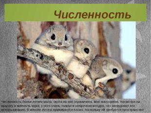 Численность белки-летяги мала, охота на неё ограничена. Мех малоценен. Несмот