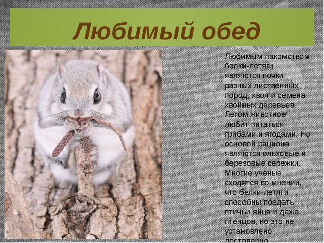 Любимым лакомством белки-летяги являются почки разных лиственных пород, хвоя...