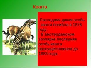 Квагга, обитавшая на юге Африки, была удивительным парнокопытным. Спереди он