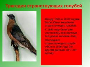 Трагедия странствующих голубей Чуть более ста лет назад в Северной Америке эт