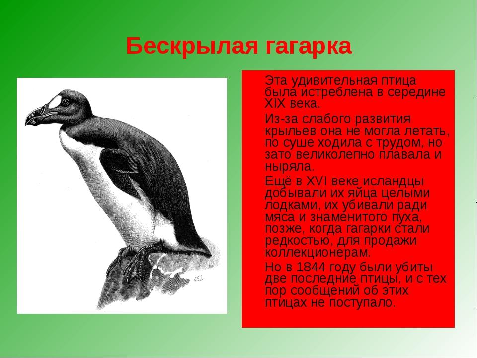 Бескрылая гагарка Эта удивительная птица была истреблена в середине XIX века...