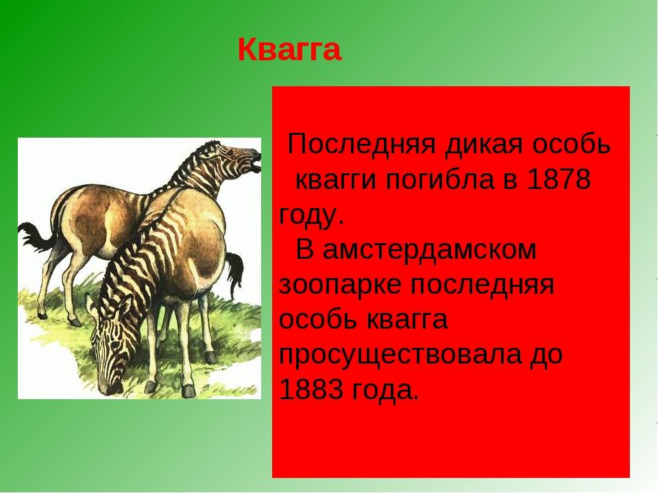 Квагга, обитавшая на юге Африки, была удивительным парнокопытным. Спереди он...