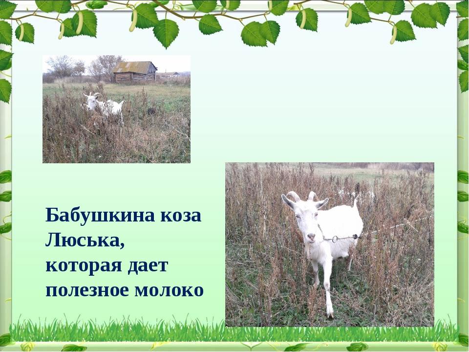 Бабушкина коза Люська, которая дает полезное молоко