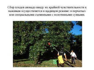 Сбор плодов авокадо ввиду их крайней чувствительности к нажимам осуществляетс