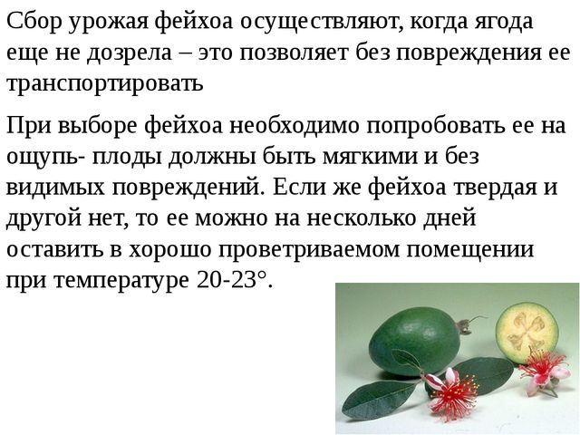 Сбор урожая фейхоа осуществляют, когда ягода еще не дозрела – это позволяет...