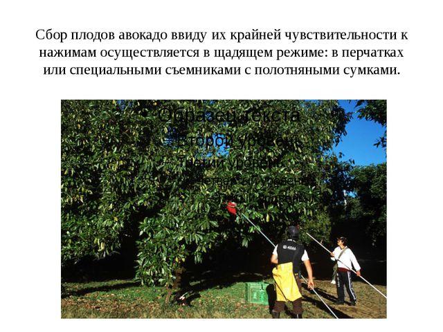 Сбор плодов авокадо ввиду их крайней чувствительности к нажимам осуществляетс...