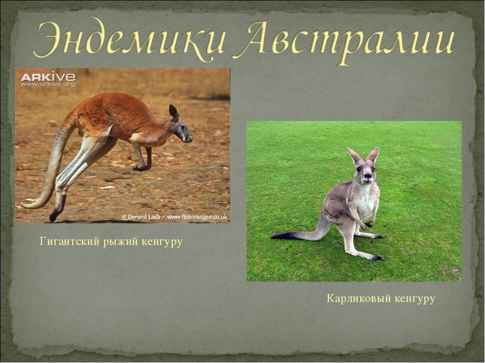 Гигантский рыжий кенгуру Карликовый кенгуру