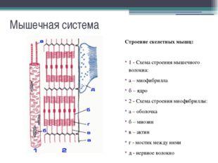 Мышечная система Основные группы мышц: В зависимости от расположения мышцы мо