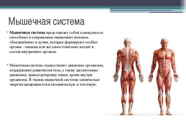 Мышечная система Строение скелетных мышц: 1 - Схема строения мышечного волокн...