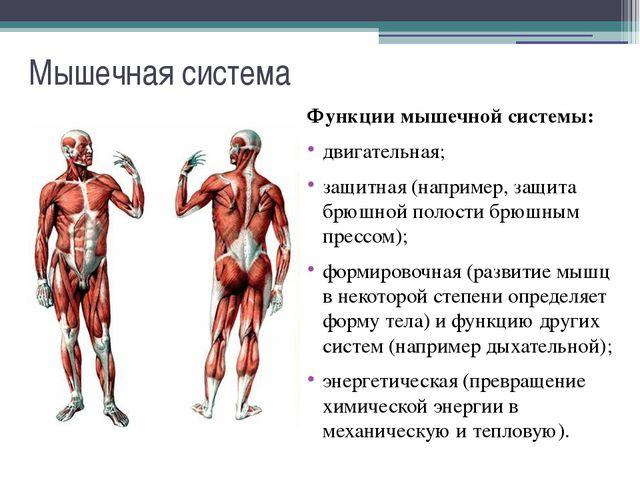 Мышечная система Примерно на 85% мышцы состоят из воды. Именно благодаря мыше...