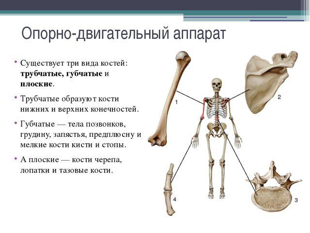 Опорно-двигательный аппарат Существует три вида костей: трубчатые, губчатые и...