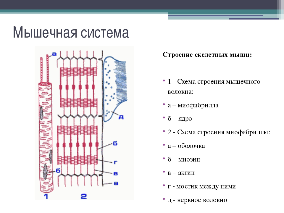 Мышечная система Основные группы мышц: В зависимости от расположения мышцы мо...