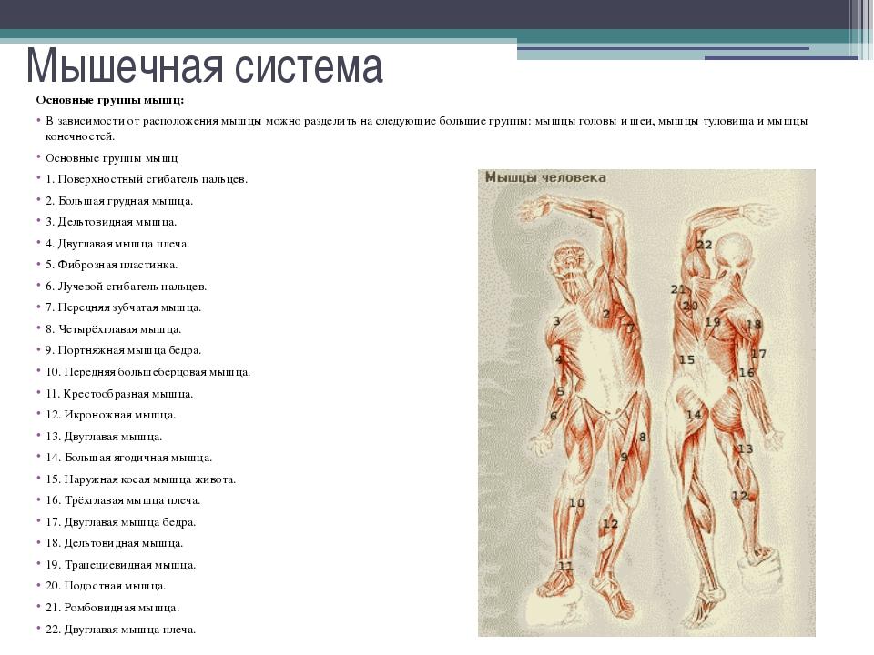 Мышечная система Мышцы, сокращаясь или напрягаясь, производят работу. Она мож...