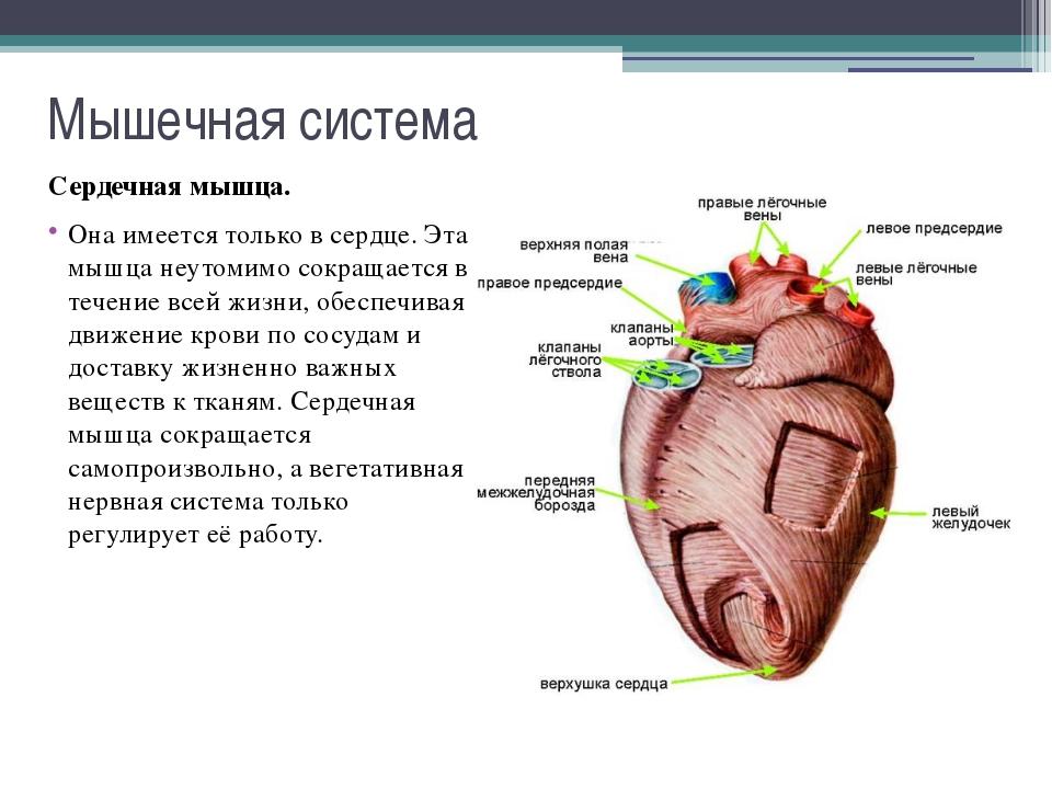 Мышечная система Функции мышечной системы: двигательная; защитная (например,...