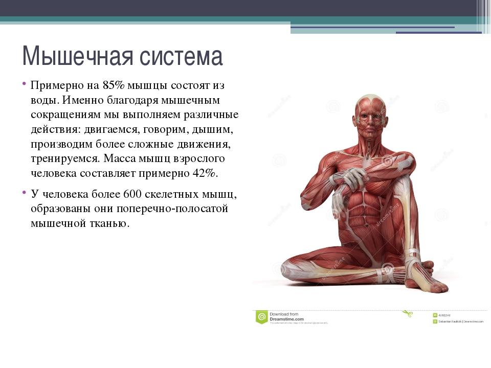 Мышечная система Основа мышц - белки, составляющие 80-85% мышечной ткани. Гла...