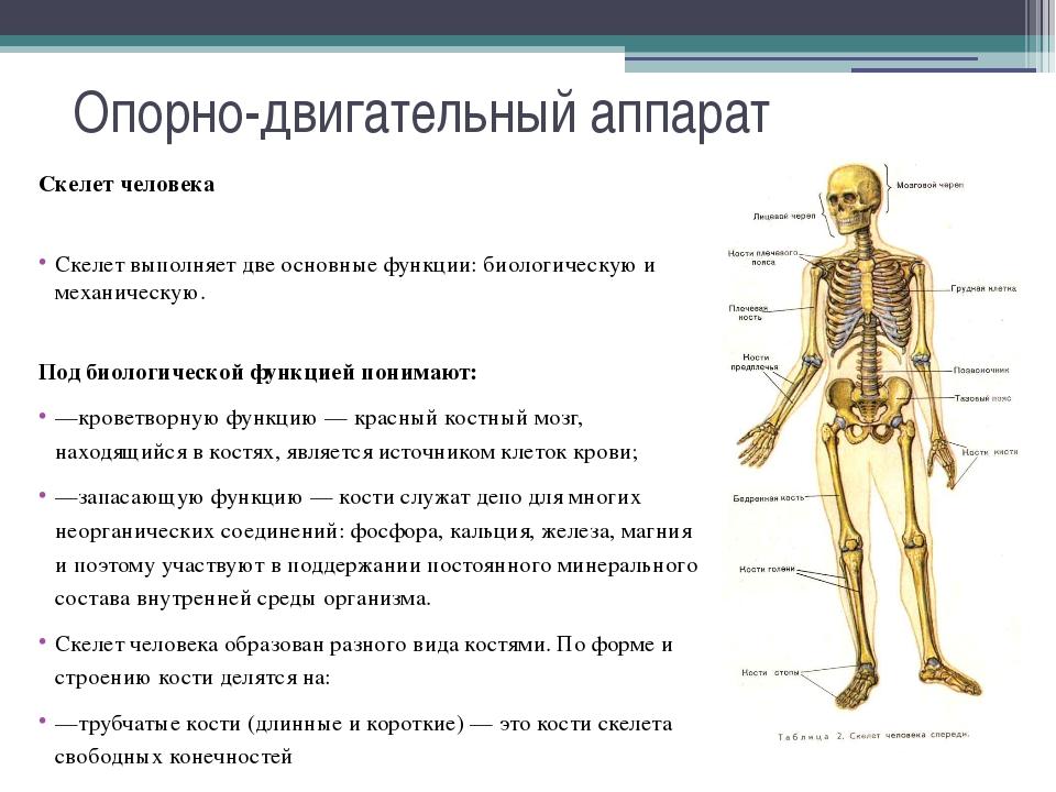 Опорно-двигательный аппарат Скелет человека Скелет выполняет две основные фун...