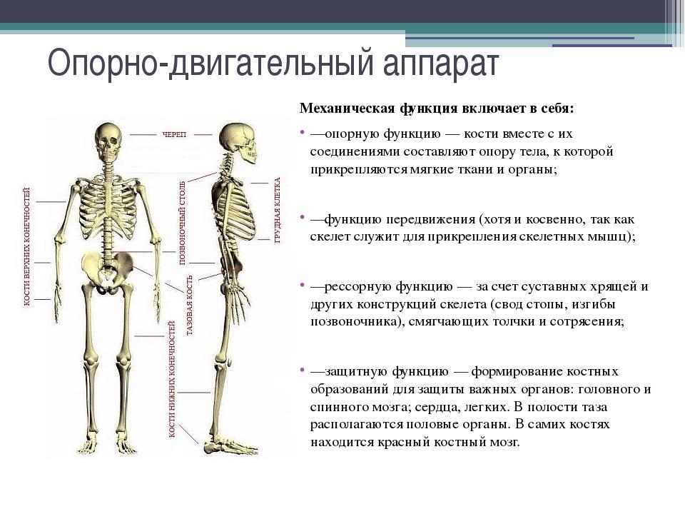 функции опорно-двигательного аппарата человека.состав и рост костей.стадии развития