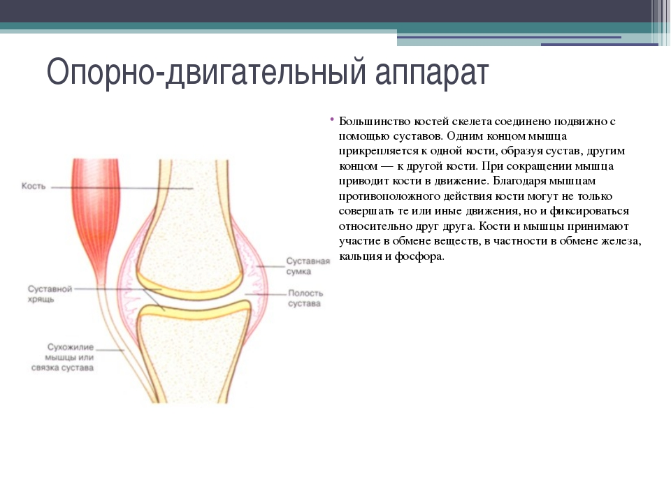 Опорно-двигательный аппарат Большинство костей скелета соединено подвижно с п...