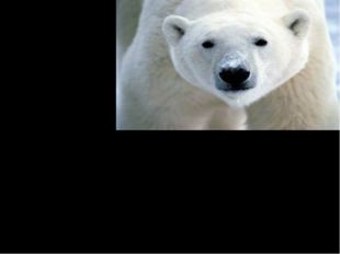 Polar bears live only in the northern Arctic where they spend most of their