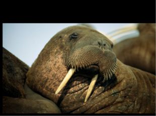 Walrus (морж) [ˈwɔ:lrəs]
