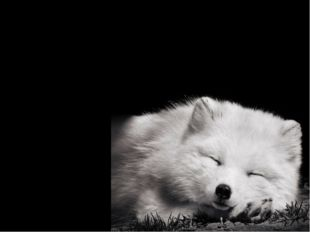 The arctic foxes are well adapted for the cold harsh weather of the Arctic. T