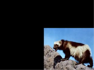 Despite it's name, the wolverine is not related to the wolf. The wolverine is