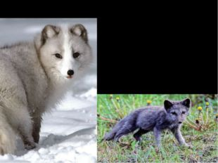 Interesting Facts Arctic fox can be either gray-blue or white. As summer begi