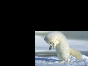 Interesting Facts Hunting: Arctic fox walk along on top of the snow listening
