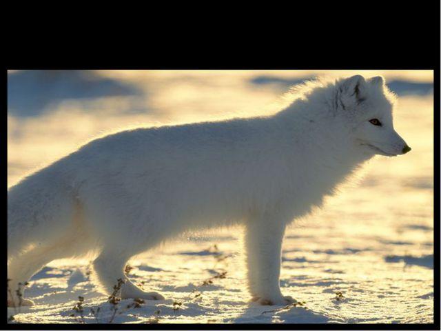 Arctic Fox (полярный песец)
