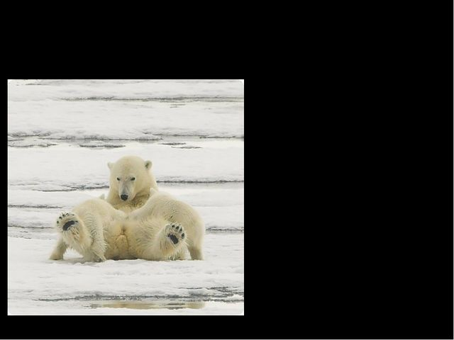 Interesting Facts Polar bear hide (шкура) is very useful it can be used as cl...