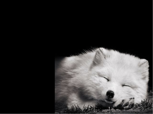 The arctic foxes are well adapted for the cold harsh weather of the Arctic. T...