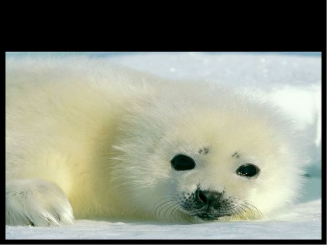 Seal (тюлень)