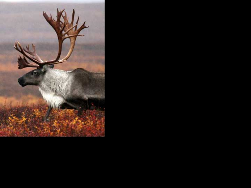 Interesting Facts When the caribou eats, the food goes down to the caribou's...