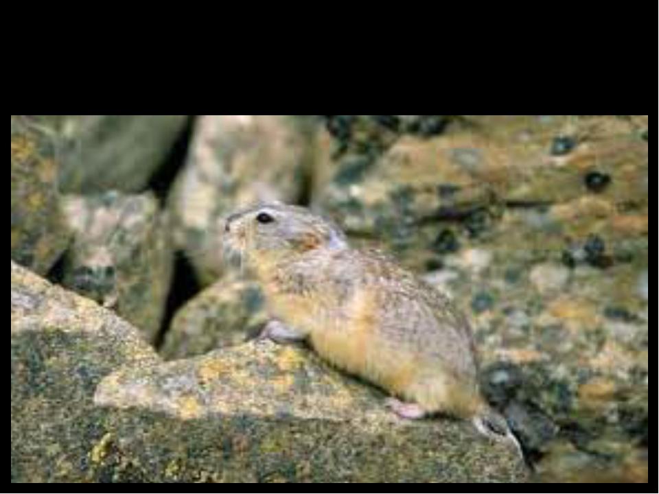 Lemming (лемминг)