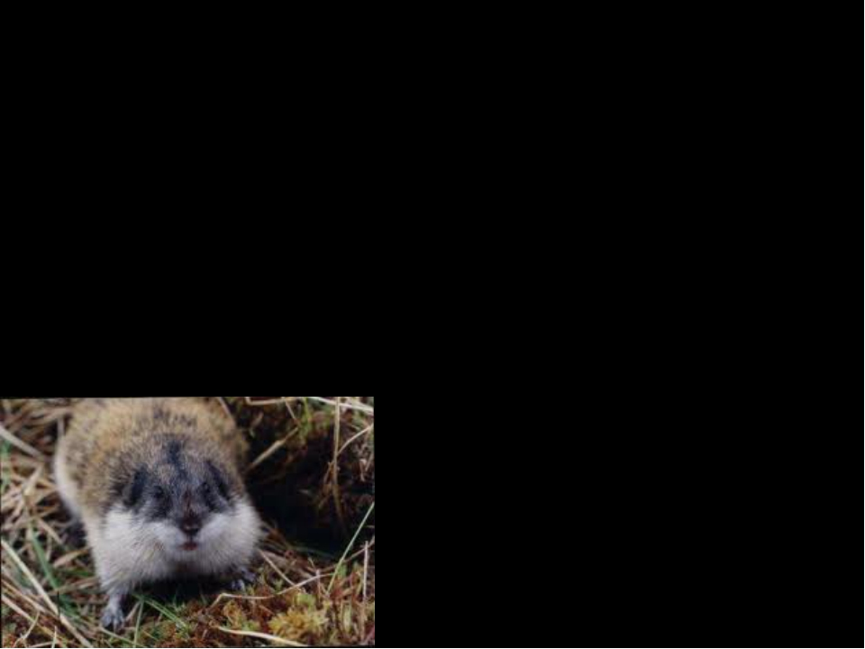 Interesting Facts The lemming has smaller ears and tails than other rodents....