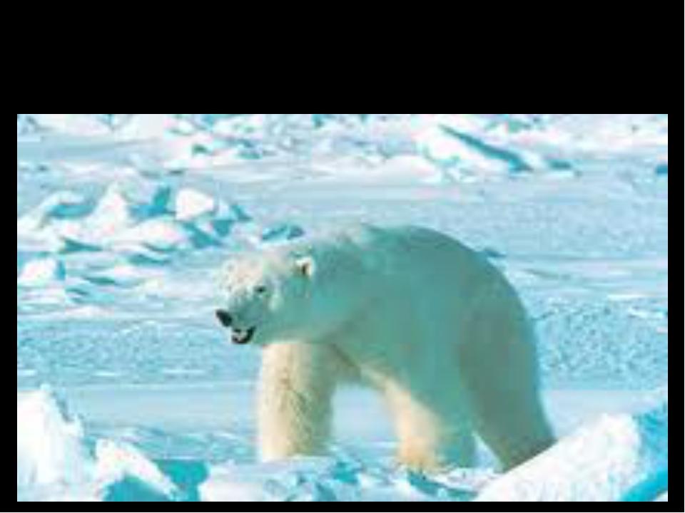 Polar Bear (белый медведь)