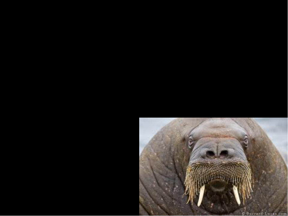 Interesting Facts The walrus have big whiskers. They use their whiskers to fe...